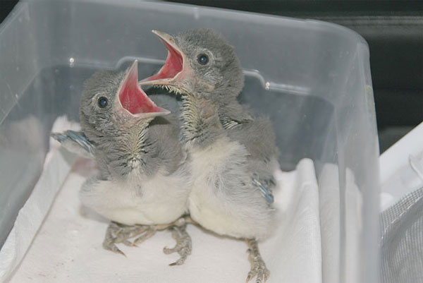 Baby Birds at Wildlife Rescue - NapaPets